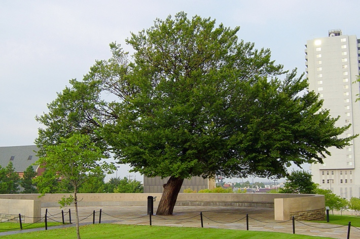 The_Survivor_Tree_at_the_Oklahoma_City_National_Memorial